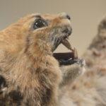 Portrait de Spécimen naturalisé de Lynx boréal
